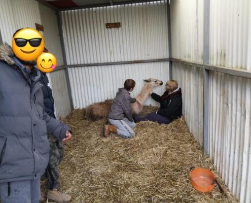 The Island Project - Llama requiring treatment